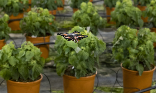 A moth-killing drone hovers over crops in a greenhouse.